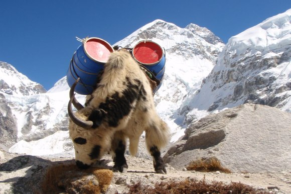 yak-with-everest-in-the-background-lg